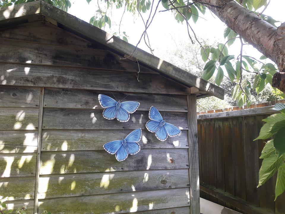 Blue Adonis in Te Horo.jpg